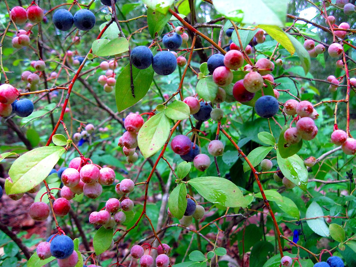 Rabbiteye Blueberry, Vaccinium ashei