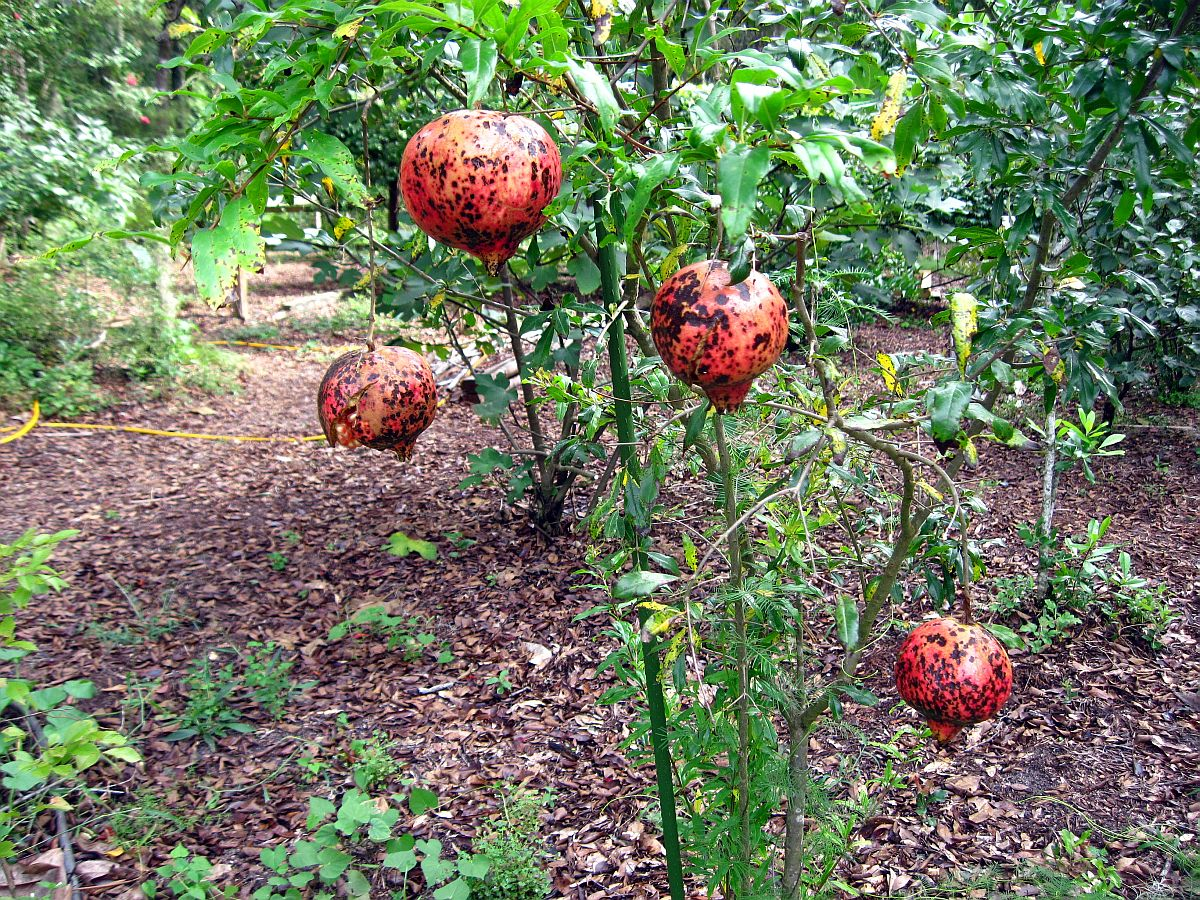 Pomegrante, Punica granatum
