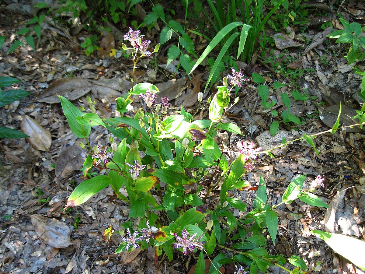Tricyrtis hybrid 'Empress', Toad Lily