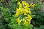 YellowBells-2.html
